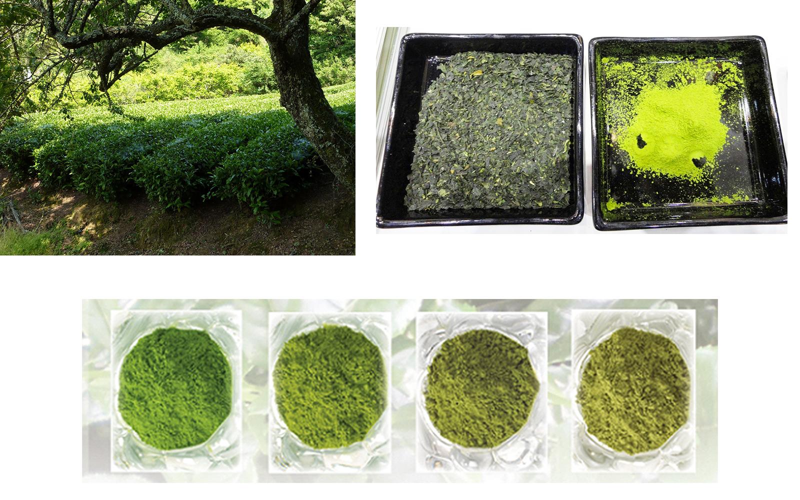 processus création thé vert matcha
