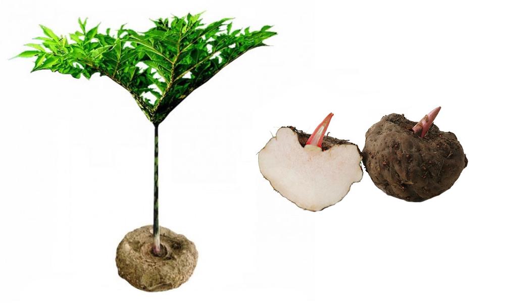 éponge konjac : plante + racine