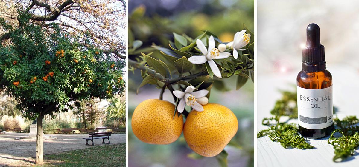 La Fleur d'Oranger - bigaradier